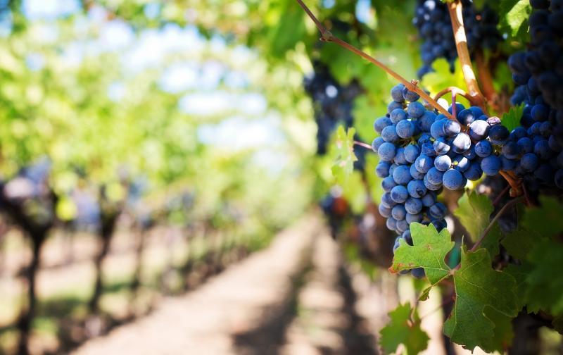 wine vineyard.jpg