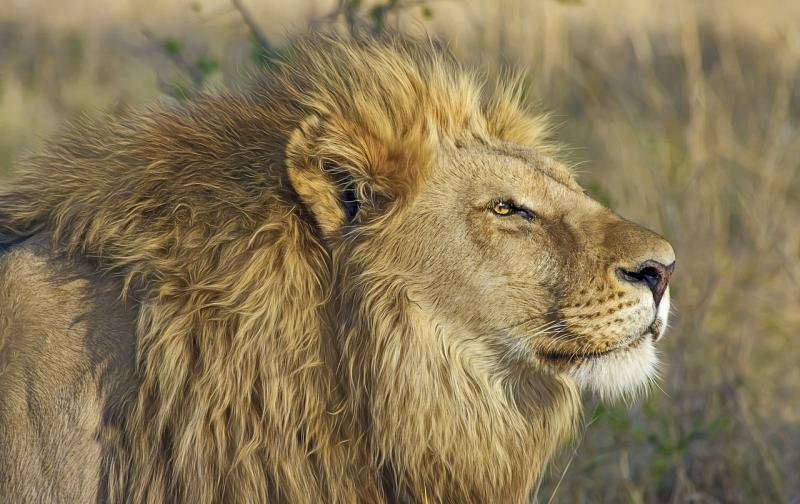 lion-515028_1280.jpg