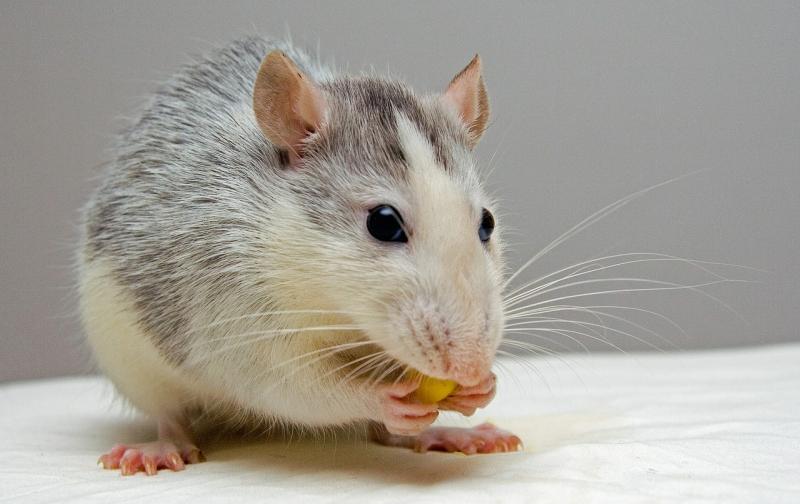 rat-440987_1280.jpg