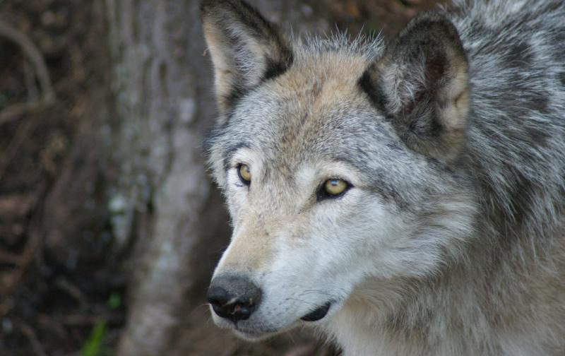 wolf-3493698_1920.jpg