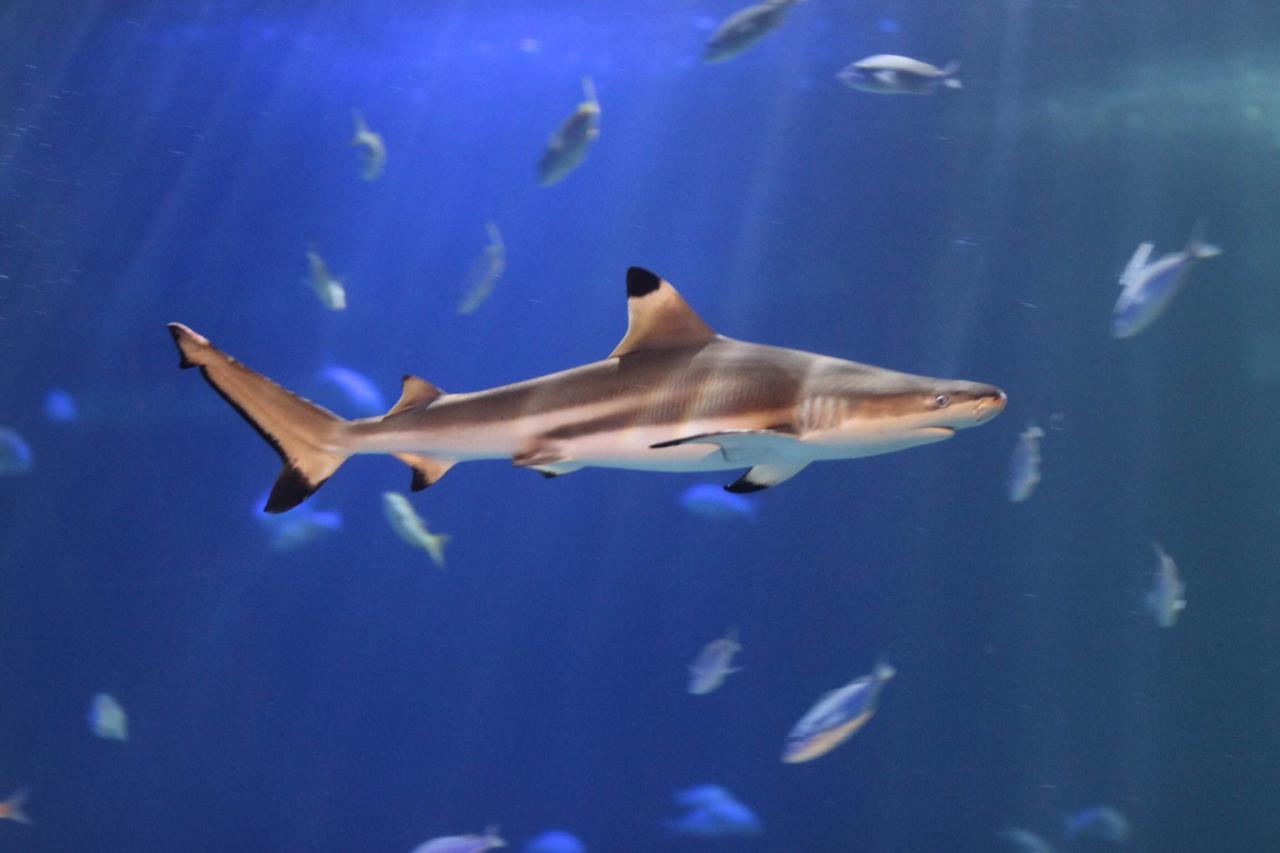 Resultado de imagen para tiburones punta negra acuario inbursa