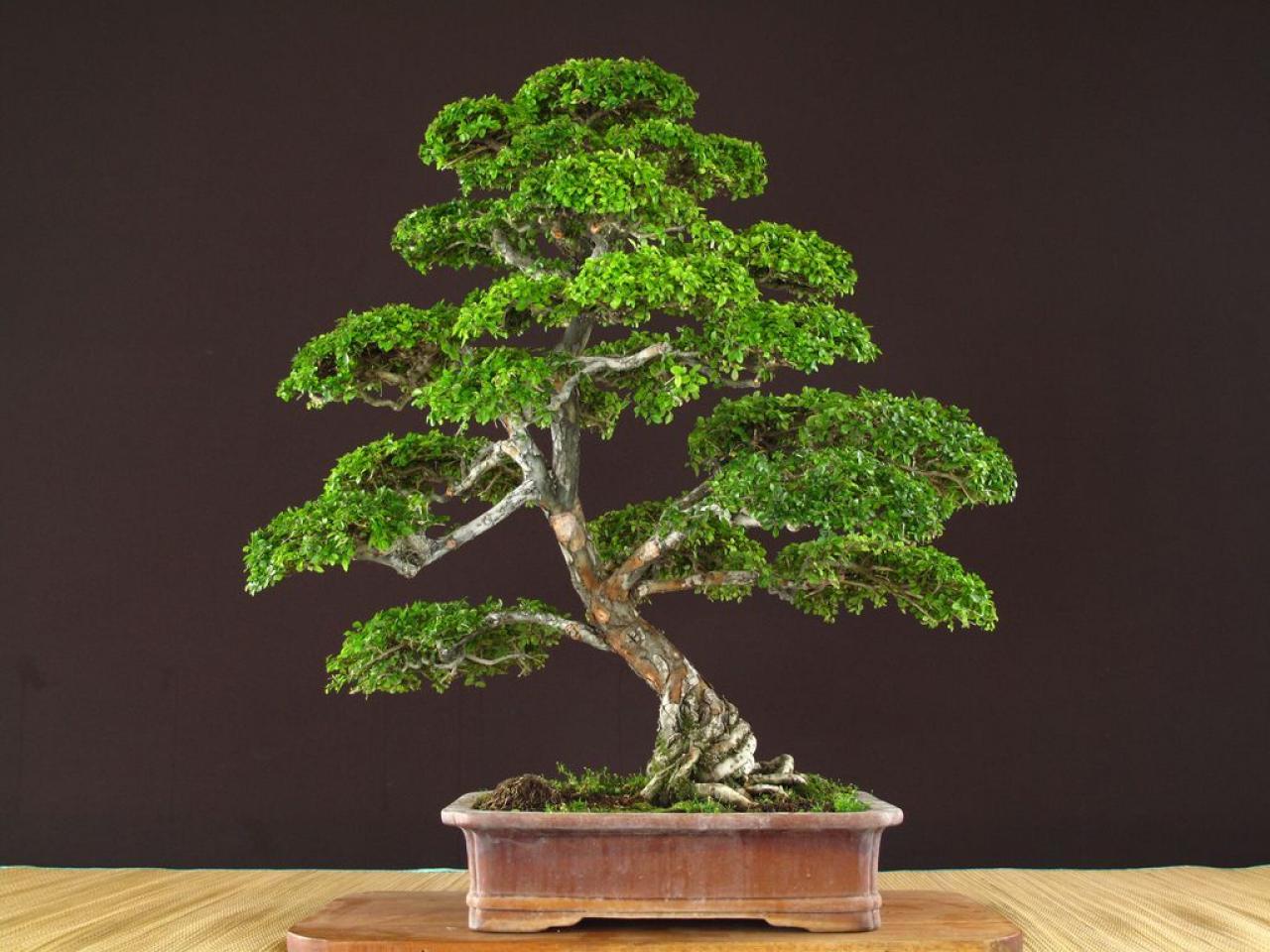 El arte de los bons is lifestyle de am ricaeconom a - Tierra para bonsais ...